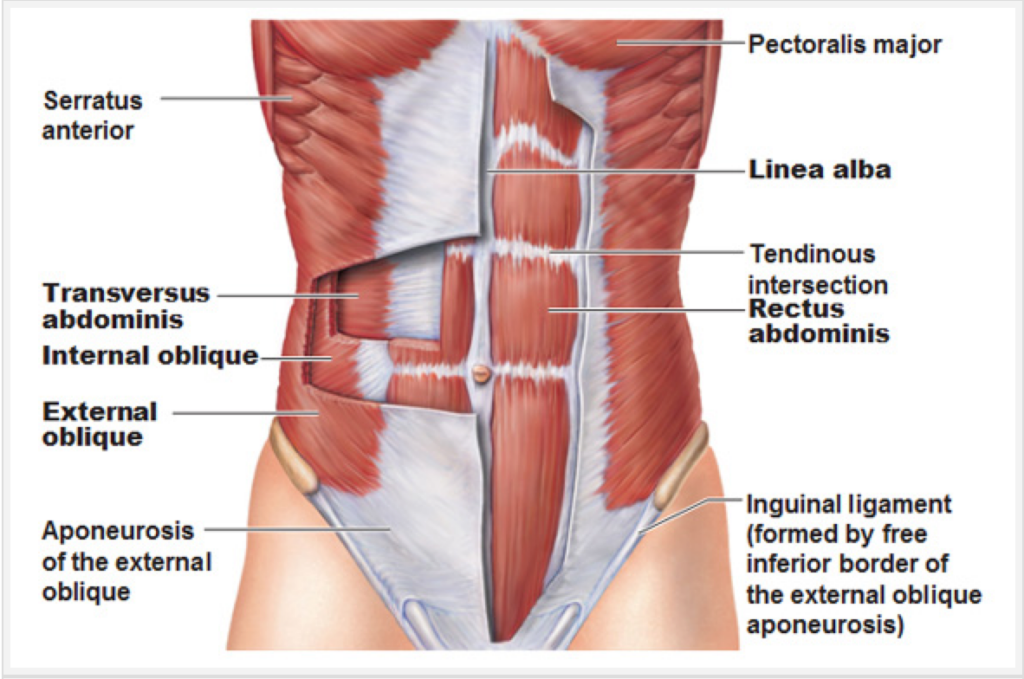 Bugvæggens anatomi